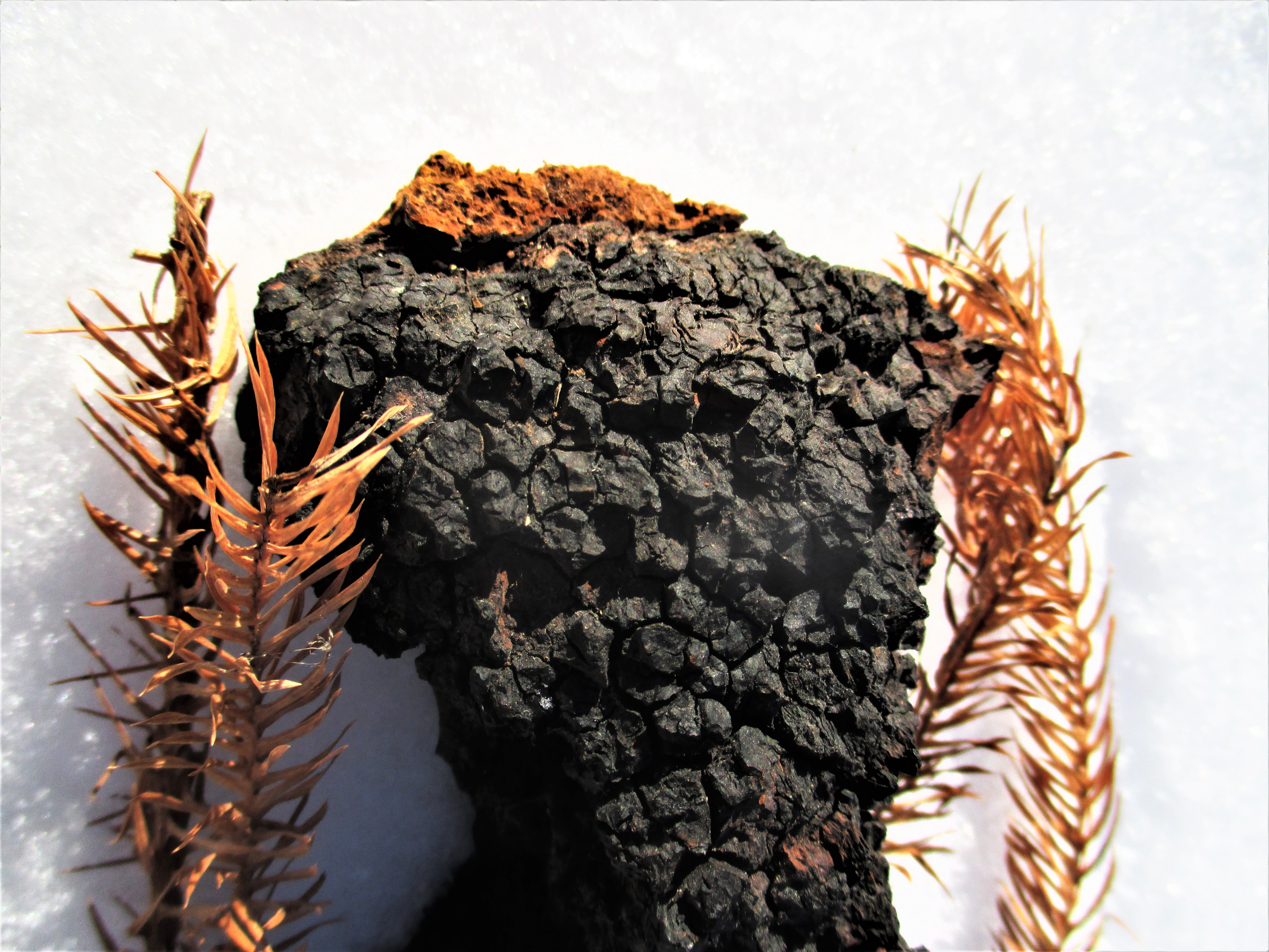 Chaga in Snow with Pine Branches | Iowa Herbalist