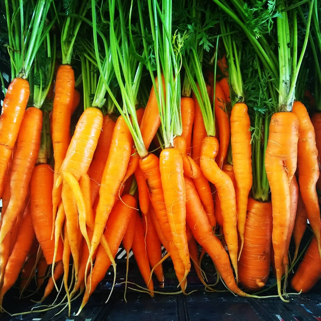 Beautiful Carrots | Iowa Herbalist